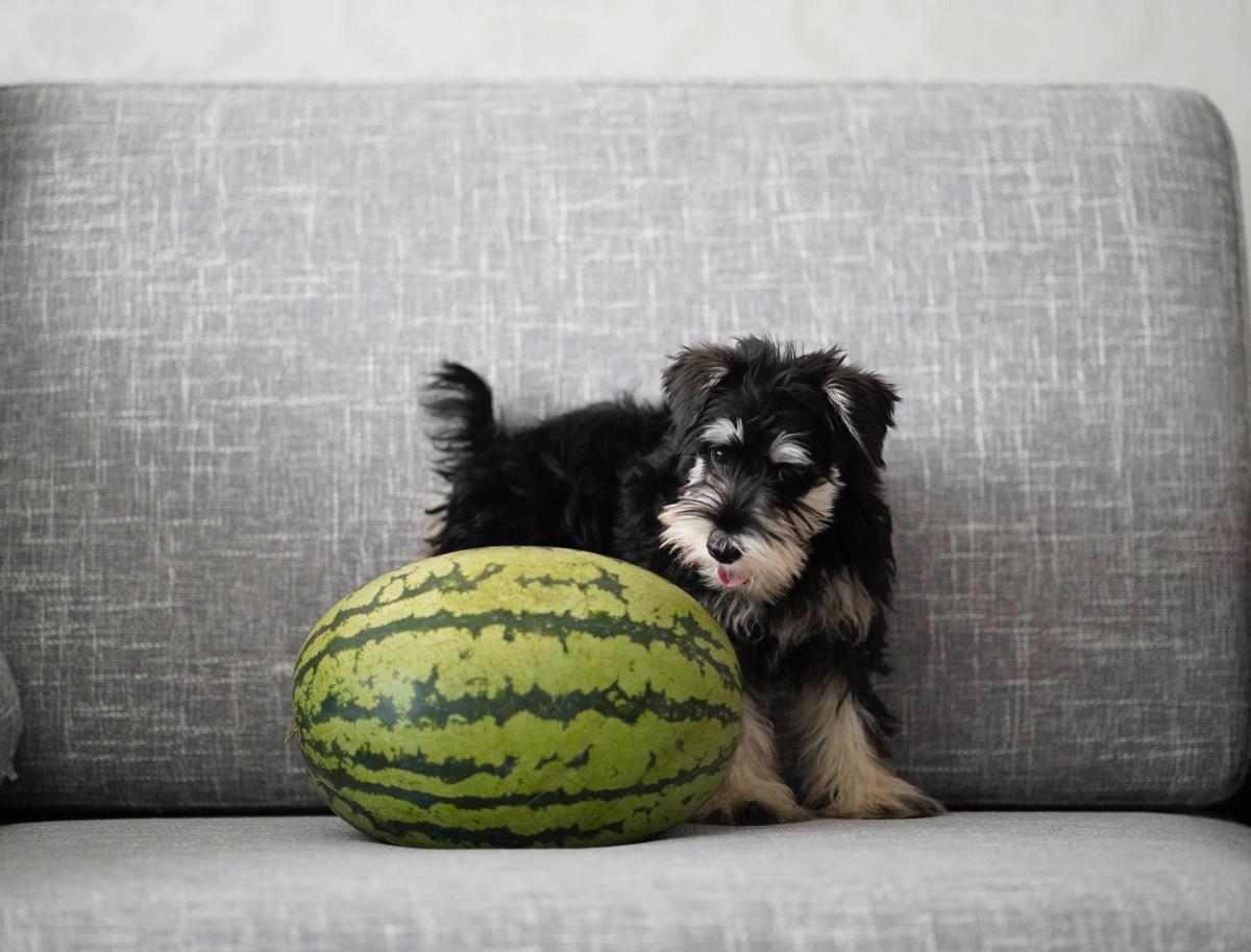 Dog eating watermelon