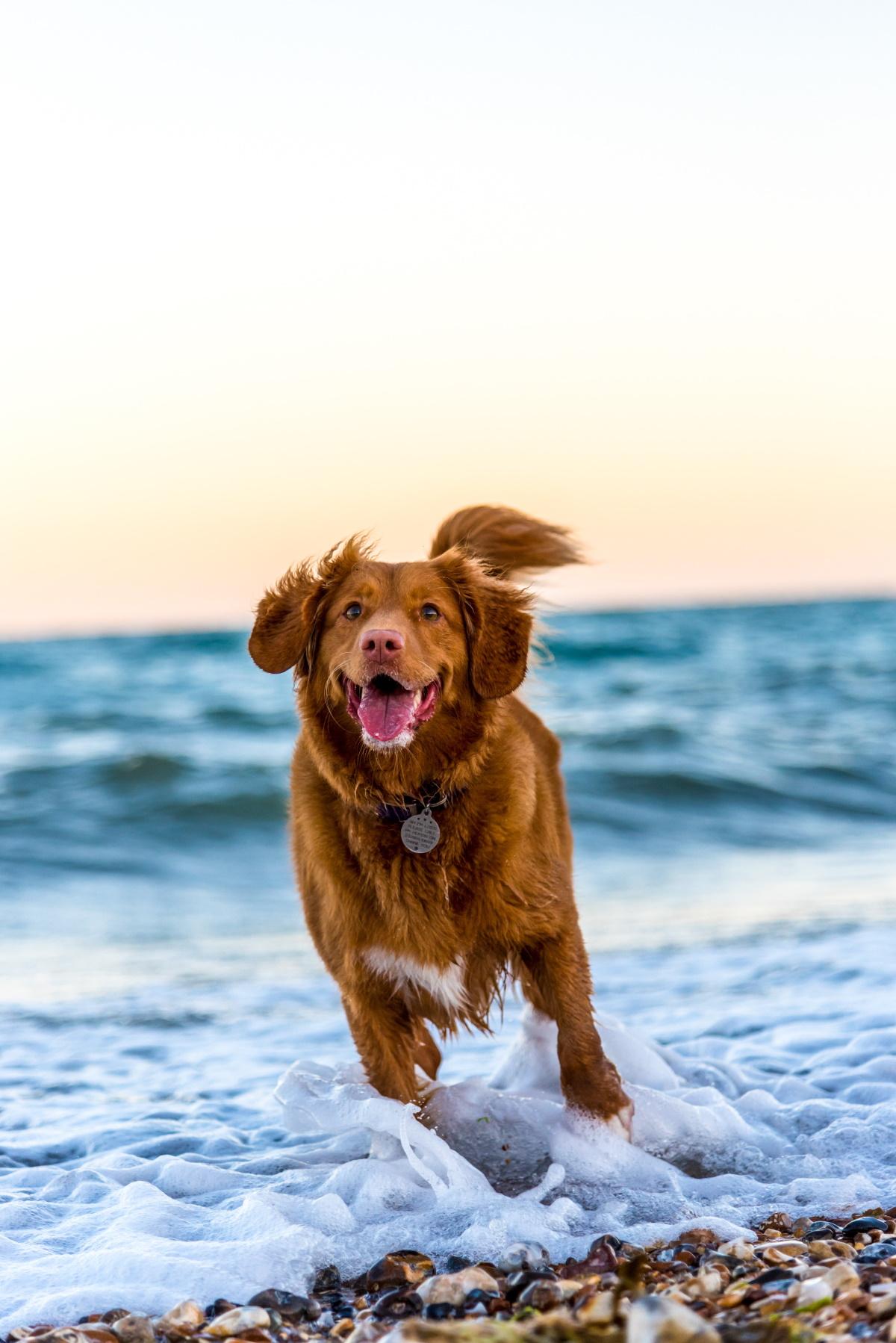 Dog running near the sea
