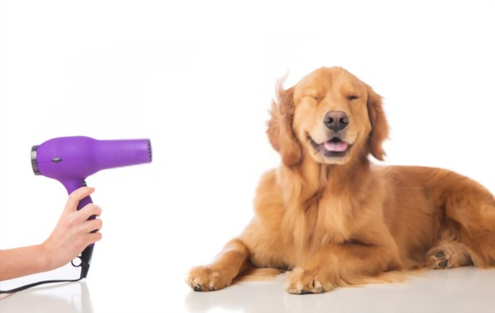Golden retriver getting blow dried