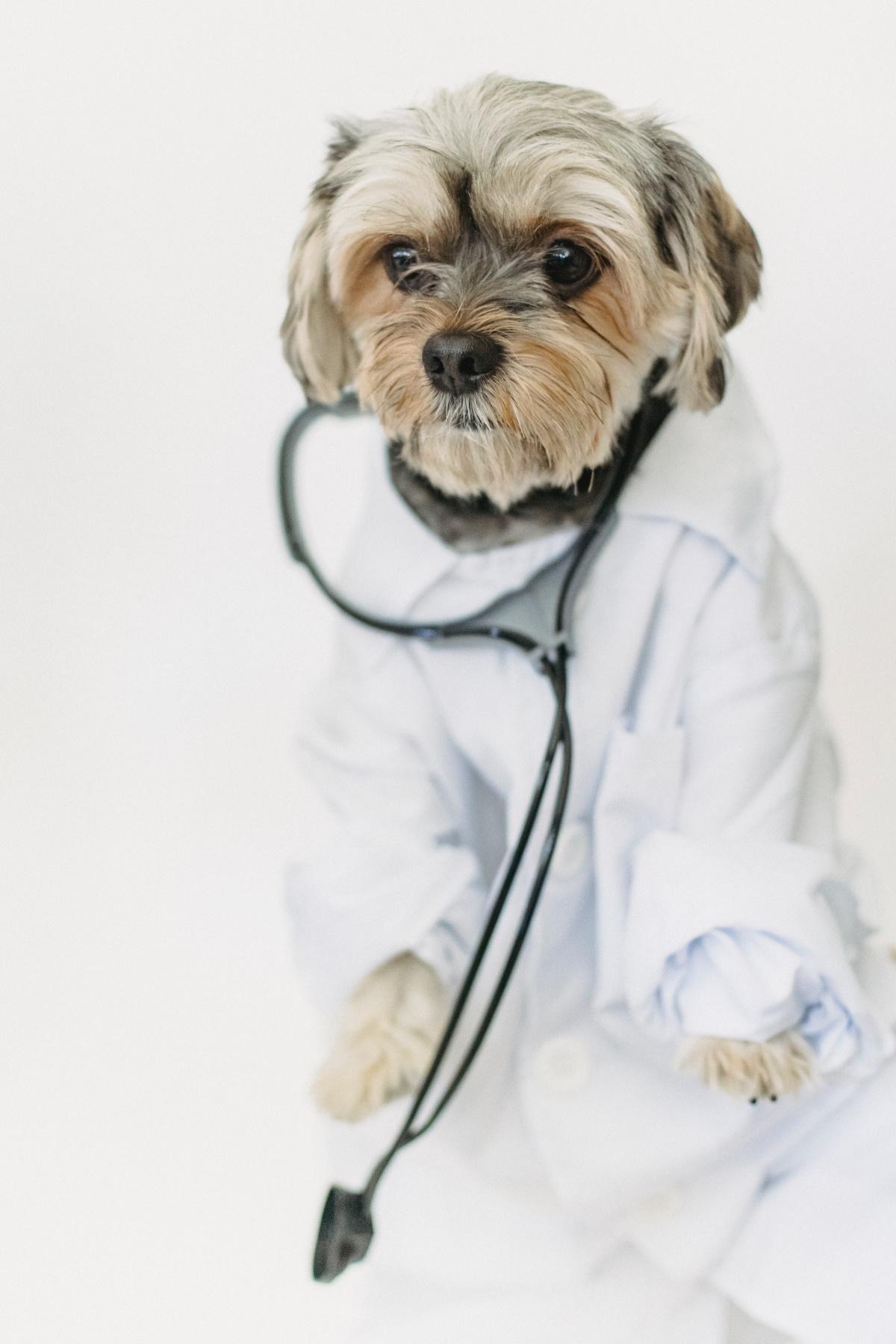 Dog wearing a medic costume