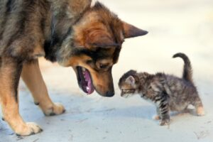 Marginally bigger dog sniffing a small scared but curious little kitten