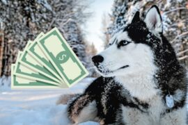 The implied costs of buying and owning a Siberian Husky puppy