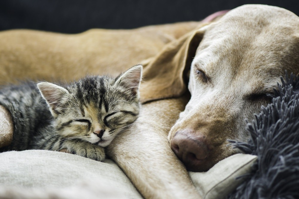 On a couch there is a dog and a kitten two friends sleeping together peacefully