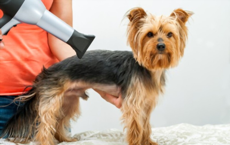Dog being blow dried