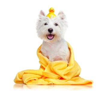 A white dog being washed with a toy duck on his head covered with a blanket.