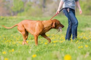 Dog playing with his owner using a flirt pole that is good for exercise
