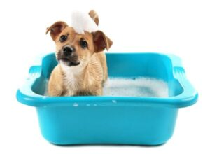 A dog being washed with shampoo foam on his head looking sideways.