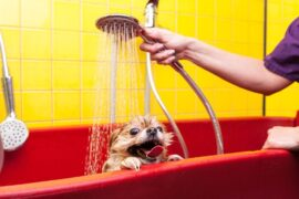 Applying dog washing solution on dog for benefit analysis