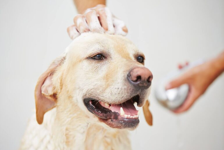 A labrador being washed with baby shampoo in the bathroom