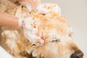 Foamy dog being washed with shampoo in the bathroom by his owner