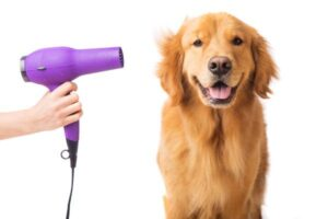 Owner drying Golden Retriever after a wash