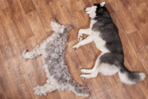 Husky dog shedding in the house issue