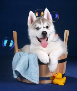 Husky puppy looking at soap bubbles sitting in a bathing decor