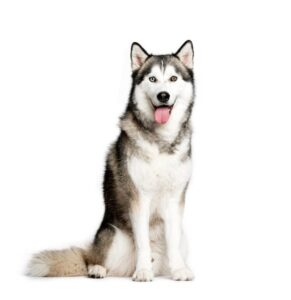 Sitting in a white background is a joyful siberian husky with great fur characteristics