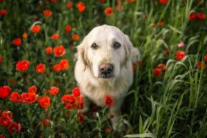 Cute Labrador surrounded by red poppy flowers in a field