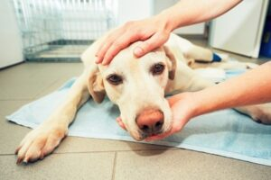 Unfortunate poppy seeds poisoning of a dog accident being taken care of by a veterinary