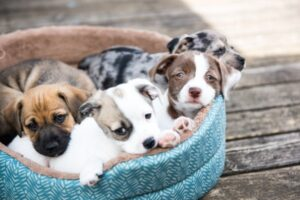 A bunch of cute cuddly puppies waiting for adoption in a blue dog bed