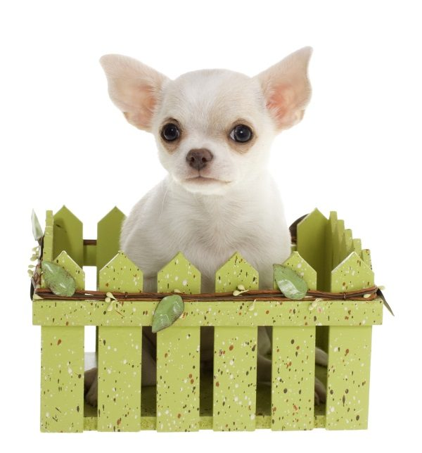 A small chihuahua surrounded by a toy fence
