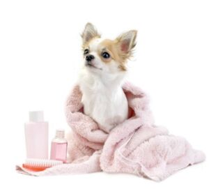 Cute small puppy in a pink towel after a wash near grooming products.