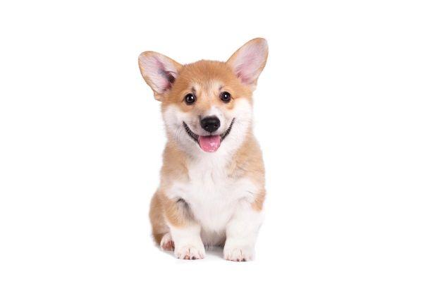 Just a small super happy smiling Corgi dog sitting