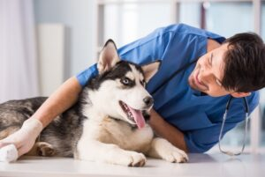 Regular checkup done by a veterinarian on a siberian husky dog