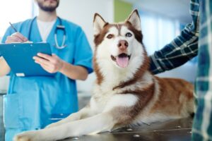 The veterinary costs for a husky dog are important and should be considered