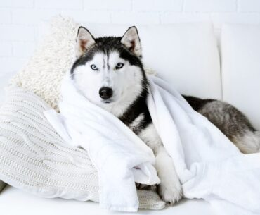 Gorgeous white Siberian Husky sitting on a couch covered with a towel after a bath